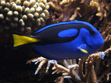 Finding Dory - What You Need to Know About A Blue Tang in a Saltwater Aquarium
