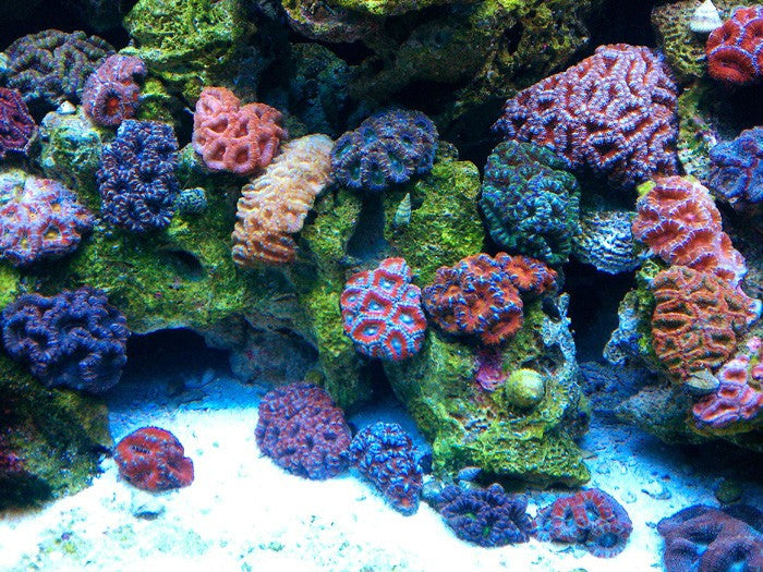 Lps Coral 10 Easy To Care Corals For Beginners Updated