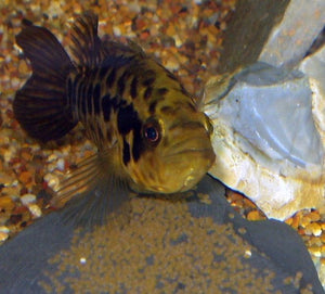 Everything You Need to Know About the Jaguar Cichlid
