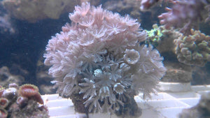 Pulsing Xenia - A Unique Soft Coral But Buyer Beware!