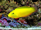 Yellow Coris Wrasse - A Great Addition for Pest Control
