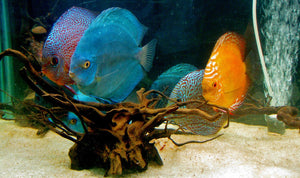 Exotic Freshwater Fish - Top 10