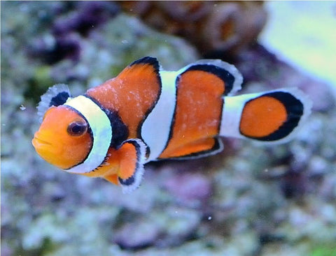 Brooklynella Clownfish Disease