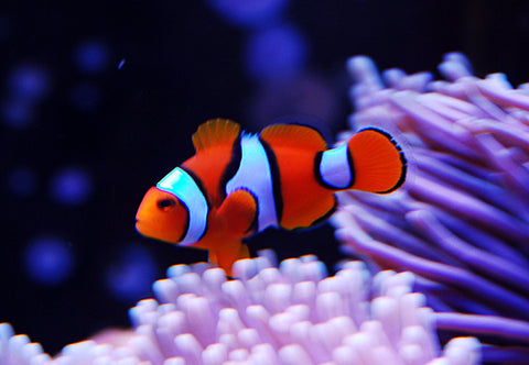 Tank Raised Clownfish