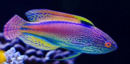 Beautiful Fish Top 10 Most Beautiful Saltwater Fish Available