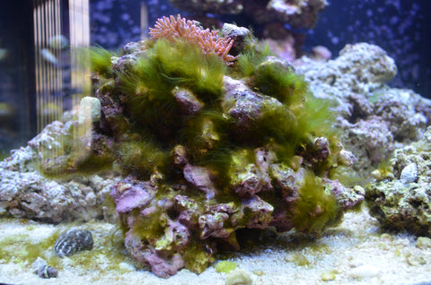 Algae eaters the 5 best for your saltwater tank for Fish tank algae remover