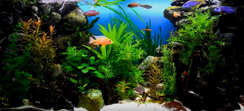 African Cichlid Tank A How To Setup Guide Aquariumstoredepot