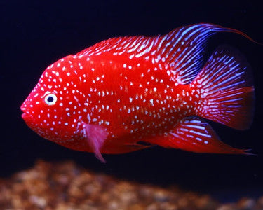 Exotic freshwater fish top 10 aquariumstoredepot for Big freshwater aquarium fish