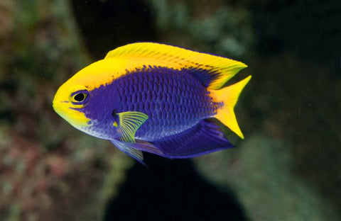 Saltwater Damselfish