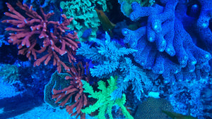 Your SPS Corals Will Look Amazing and Grow Exponentially Under This Fixture