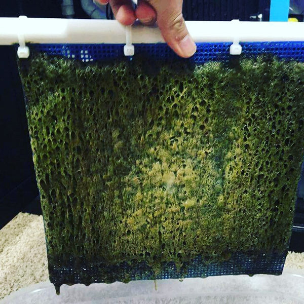 how to clean dead algae from saltwater tank