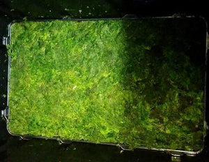 25 Pounds of Algae Harvest from AS-10 at a local fish store in Arizona