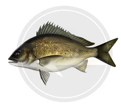 Bream Sticker