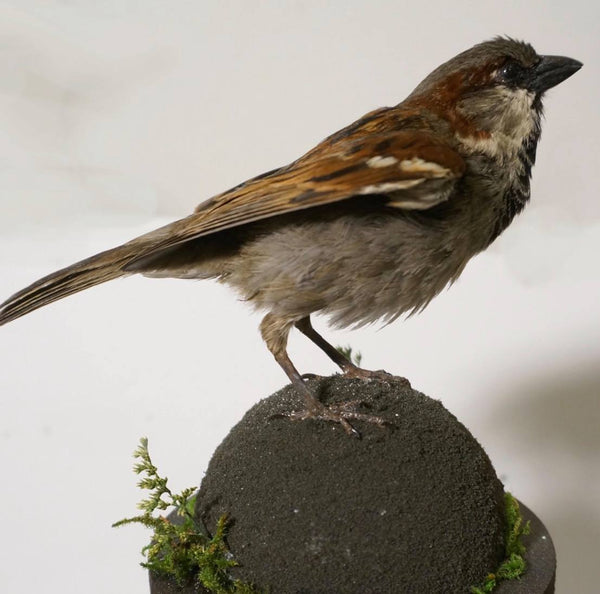 Taxidermy Workshop // English Sparrow // Feb. 10, 2019