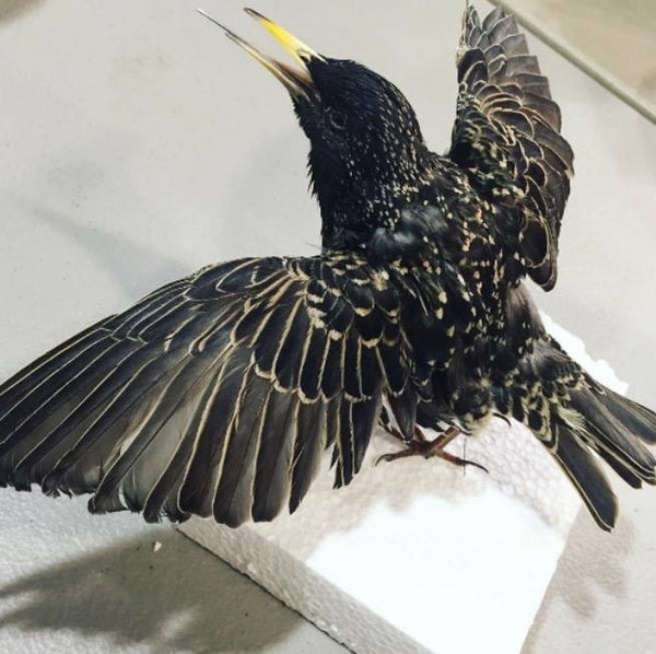 European Starling Taxidermy Workshop Hosted by Divya | Little Dame Shop