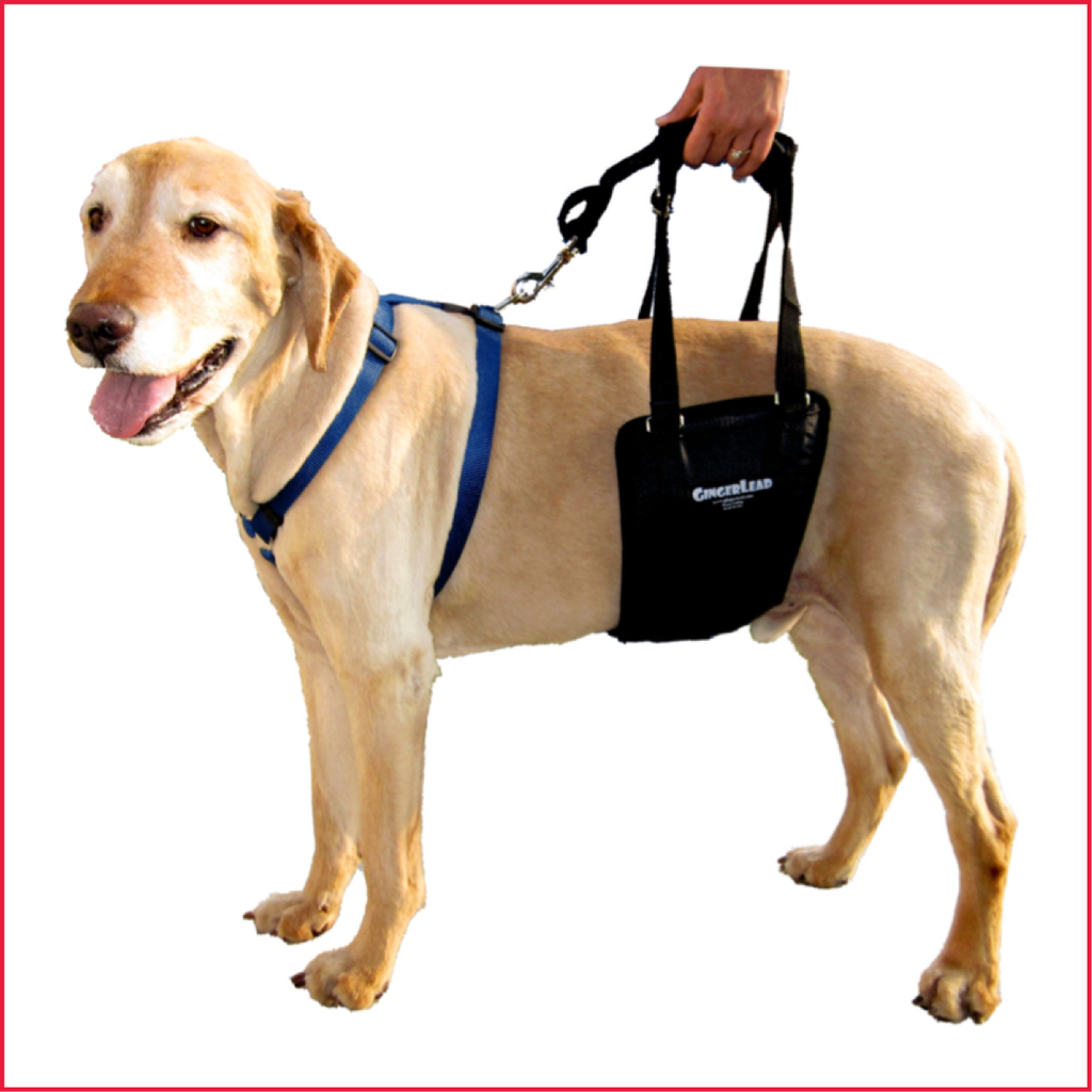 Gingerlead,Wiggleless dog back brace,Canine Orthocare,Dogs with IDVD,Back_Bracer