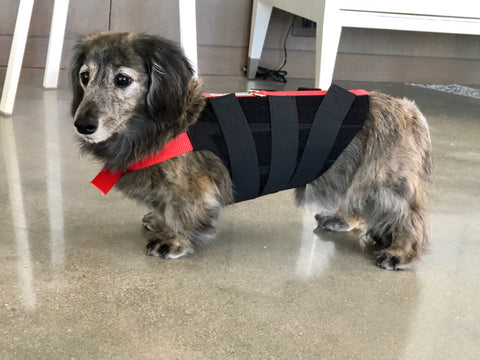 dachshund wearing back brace