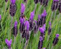 Lavender French (Lavandula Angustifolia) essential oil