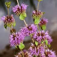 Pennyroyal Essential Oil (Mentha Pulegium)