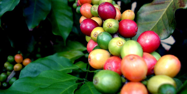 Introducing Peru Amazonas Monteverde Regional Coffee