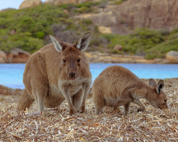 Kangaroos in Lucky Bay Beach