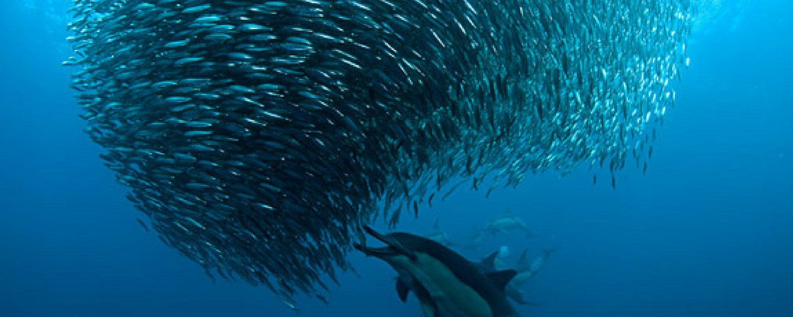 Catch The Sardine Run