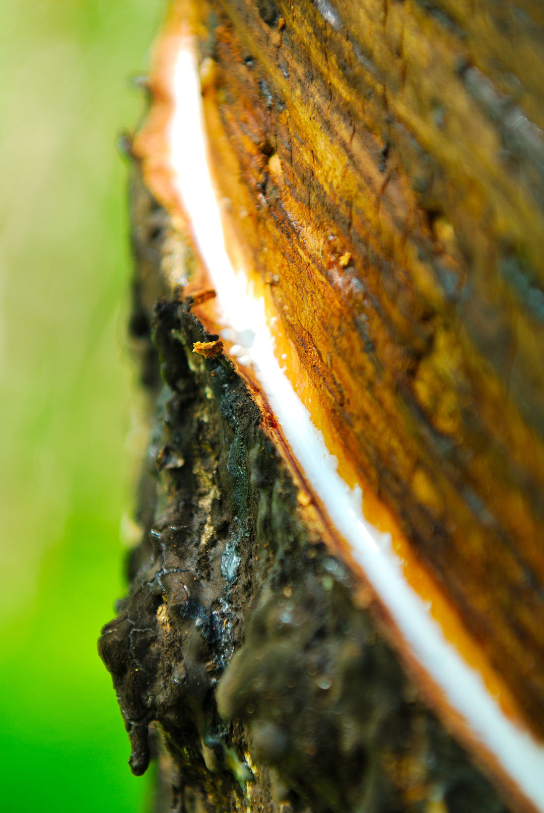 Close view of white latex milk from the Hevea brasiliensis rubber tree