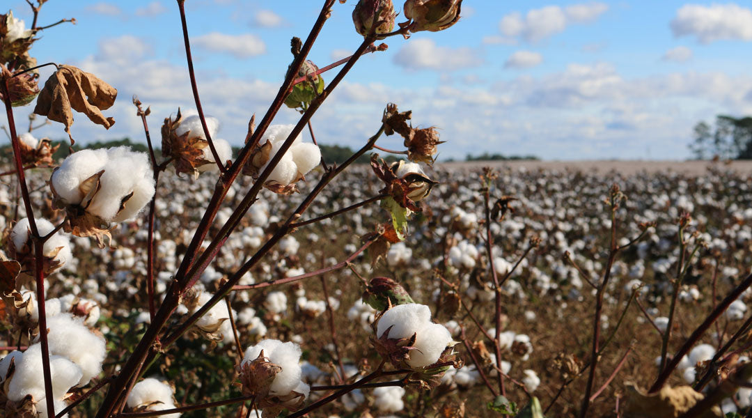 Large crop of cotton plants in a field on a sunny day