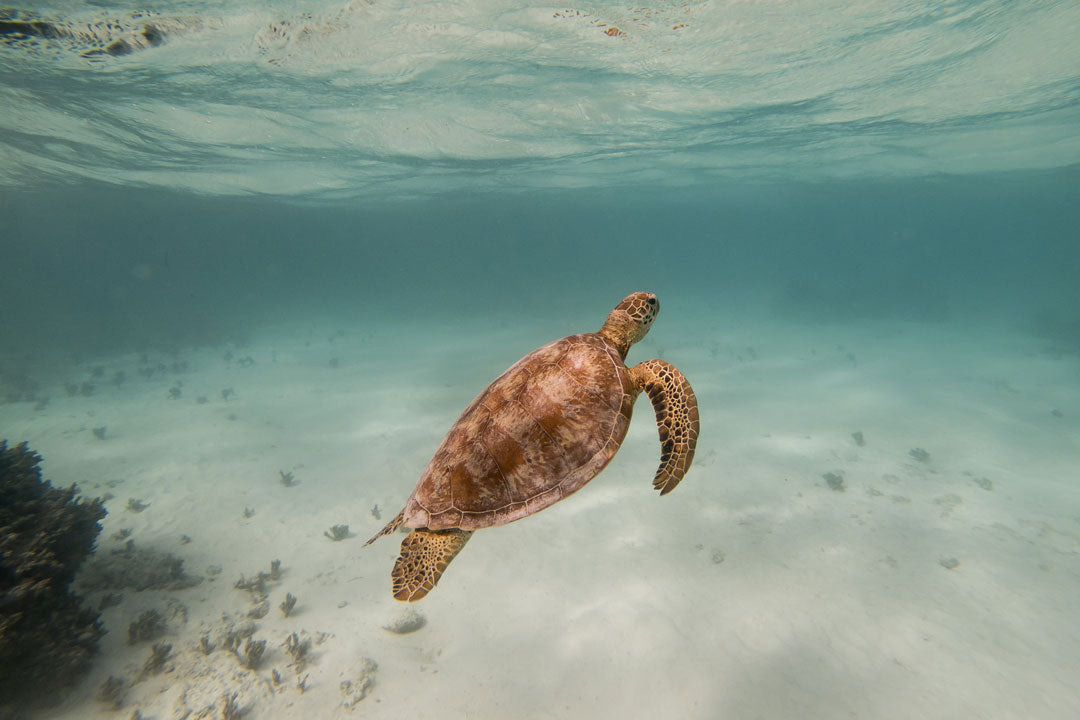 Underwater view of Hawksbill turtle