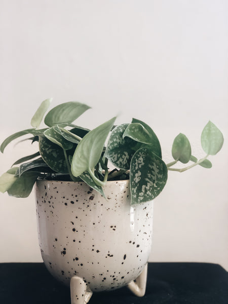 "Silver satin pothos in 4.5"" Reid pot"