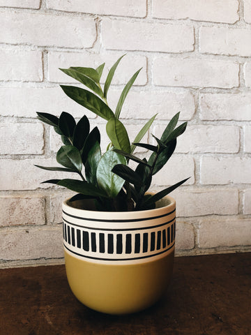 "A tropical plant in a 6"" ceramic pot"