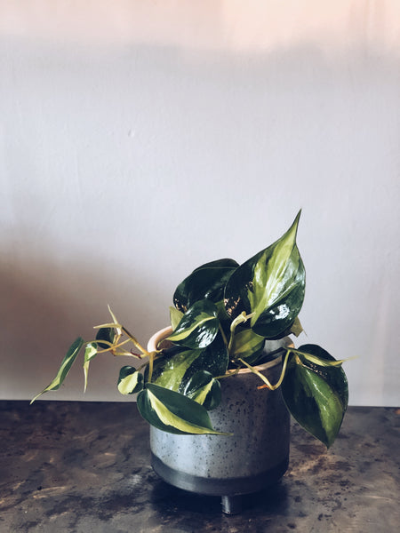 "Philodendron Brazil in a 6"" Lova footed pot"