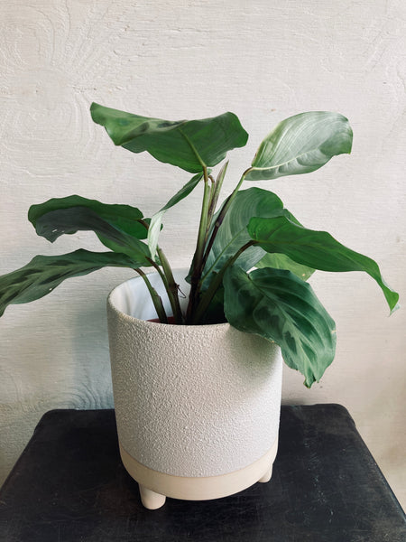 "A tropical plant in a 4"" ceramic pot"