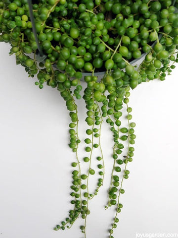 Senecio rowleyanus (String-of-pearls)