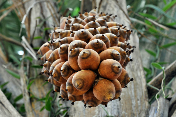babassu nuts hanging in the Amazon rainforest