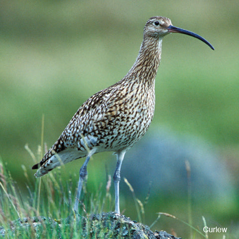Curlews in drastic decline