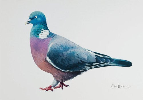 Woodpigeon greeting card by Colin Blanchard.