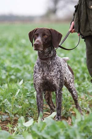 German Shorthaired Pointer Blank Dog Greeting Card by