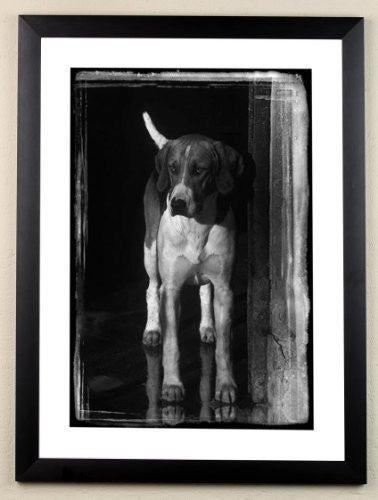 """Expectant Hound"" signed limited edition photographic foxhound print by Charles Sainsbury-Plaice"