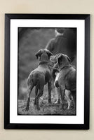 Shooting and Working Dog limited edition framed print. The Picking Up team by Charles Sainsbury-Plaice