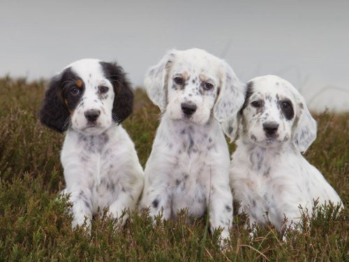 English Setter Puppies by CSP