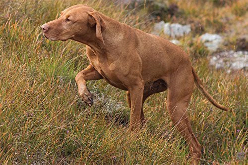 Hungarian Vizsla on point Greeting Card. Large A5 size with envelope. Blank on the inside for all occasions
