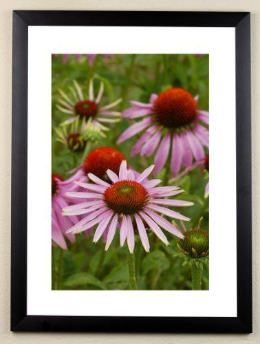 """Echinacea"" signed limited edition photographic garden print by Charles Sainsbury-Plaice"