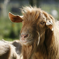 Golden Guernsey Goat Greeting Card with Sound