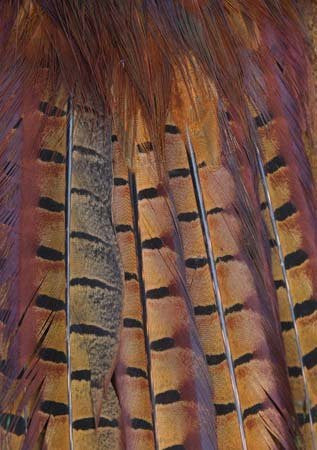 Pheasant Tail Feathers A5 Greeting Card by Charles Sainsbury-Plaice CSP