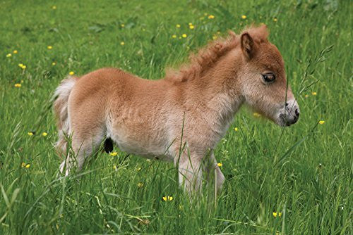 Shetland Pony Foal Greeting Card. Horse themed, blank on the inside for any message. Envelope included. Large A5 size. Photograph by Charles Sainsbury-Plaice