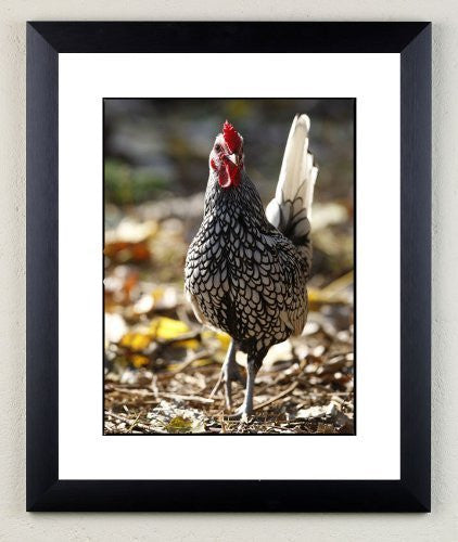 """Silver Sebright"" signed limited edition photographic chicken print by Charles Sainsbury-Plaice"