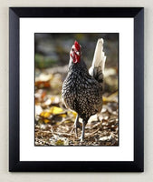 Chicken limited edition print. Silver Sebright by Charles Sainsbury-Plaice