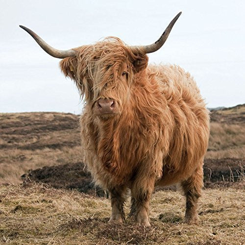 Highland Cow greeting card with sound inside