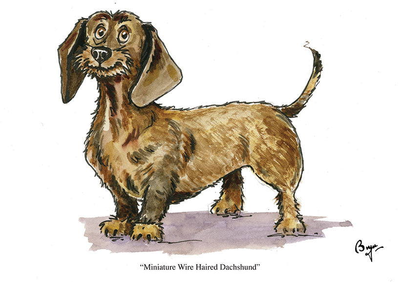 Wire Haired Miniature Dachshund dog greeting card by Bryn Parry